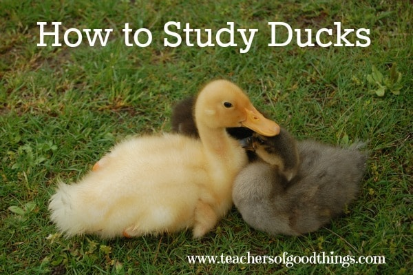 How to Study Ducks - tips to study them in their habitat